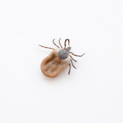 Tick isolated on white background