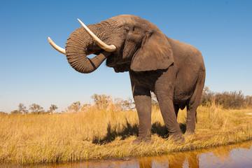 Fototapete - Elephant