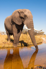Wall Mural - Elephant Drinking Water