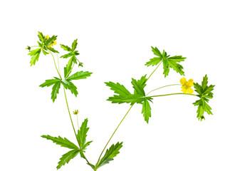 cinquefoil herb on white background