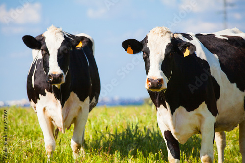 Fototapete Cows at countryside in spring