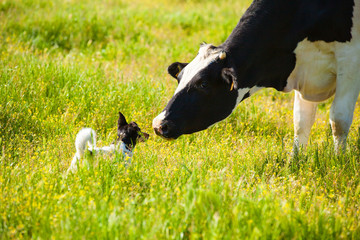 Fototapete - Dog meets a cow at countryside