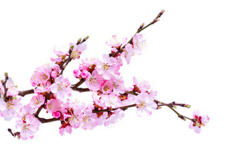 Spring flowering with apricot branch Wall mural