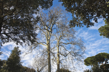 Old Tuscany plane tree