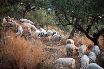 Sheep walking in mountain in Kalamata