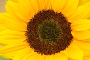 Foto auf Acrylglas Blumenhändler Zonnebloem met mooi hart