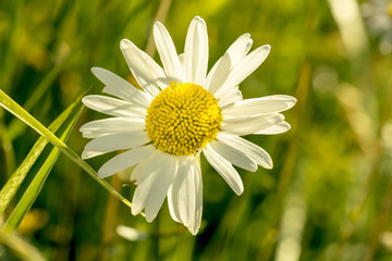 Green grass and daisy in the nature