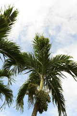 betel palm with blue sky
