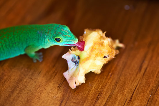Green gecko lizard eating apple core