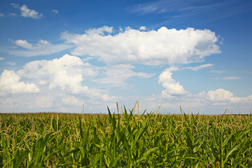 Corn field on a background cloudy sky.