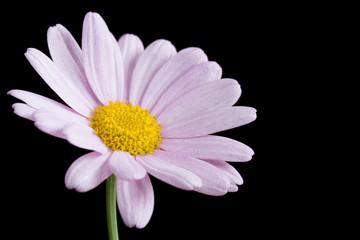 Pink daisy on black background