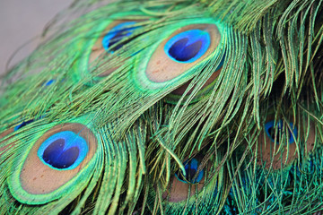 Closeup a peacock feathers (Pavo cristatus)