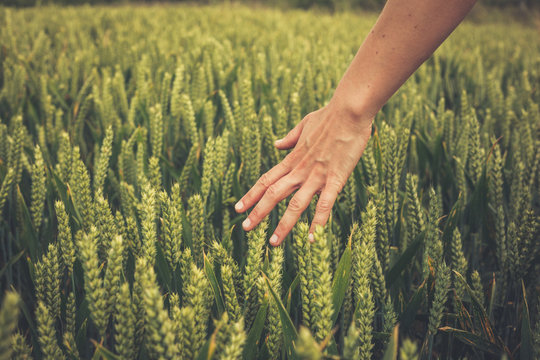 Hand touching crops in field
