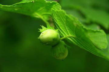 Grüne Haselnüsse