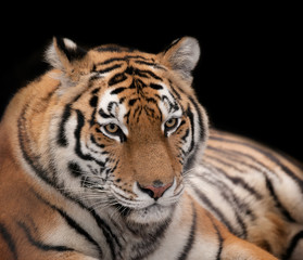Beautiful tiger on a black background.
