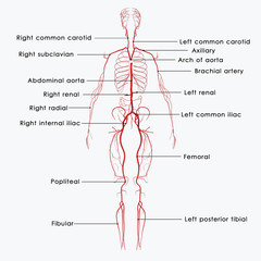 Arteries labelled
