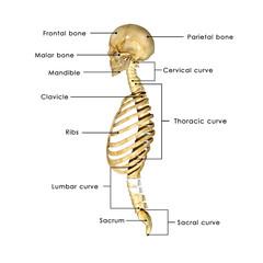 Human Skull and rib cage