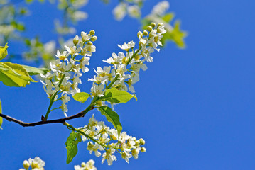 White flowers of bird cherry on blue sky background