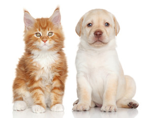 Wall Mural - MaineCoon kitten and Labrador puppy