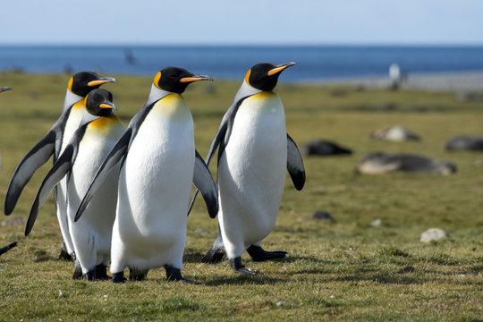 King penguins walking in sunlight, South Georgia