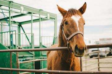 Chestnut Brown Horse in Corral