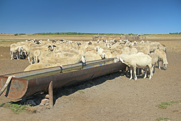 Herd of sheep on the watering place
