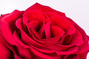 romantic perfect red rose on a white background