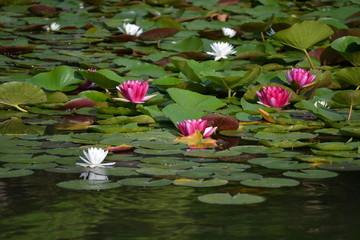 Wall Murals Water lilies 睡蓮
