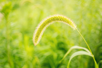 Green bristlegrass