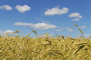 Gold wheat.