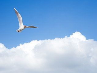 Wall Mural - Seagull flying in the sky