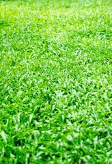 Green grass texture.
