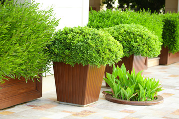 Garden pots with lush bushes