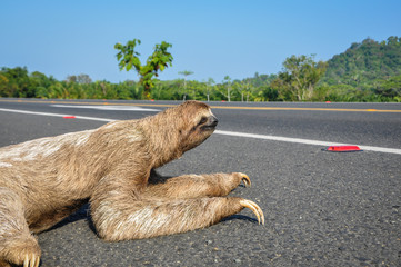 Sloth crossing the Road at Costa Rica.