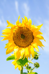 young flowering plant sunflower against the sky