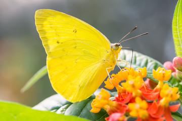 Phoebis Philea Butterfly