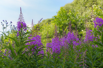 willow-herb in summer