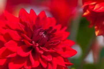Rote Dahlie, Dahlia, Dahliensorten, Sommerblumen