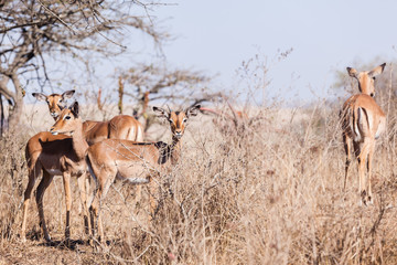 Buck Wildlife Animals