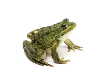 green spotted frog on white background