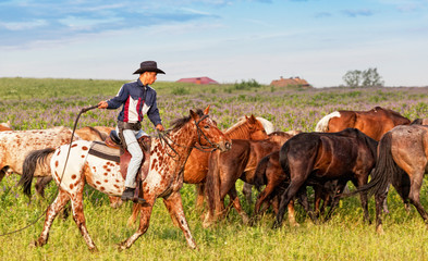Wall Mural - cowboy on a skewbald horse drives herd of horses