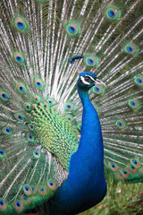 Indian peafowl with opened tail