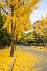 Wall Mural - The ginkgo trees at Osaka , Japan