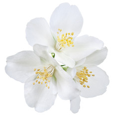 Blooming jasmine flowers. File contains clipping path.