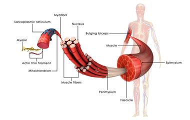 Muscle Anatomy Fototapete