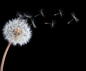 Blowball of dandelion flower