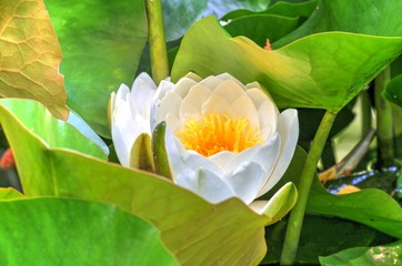white waterlily and many green leaves