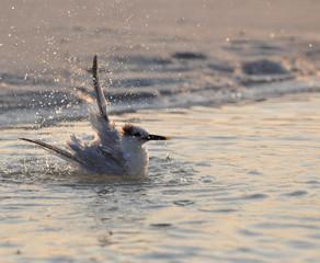 Tern taking a bath