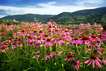 echinacea flower field Wall mural
