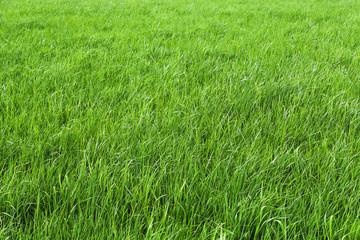 Fototapeta Grün sind die Wiesen obraz